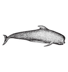 long finned pilot whale vintage vector image vector image