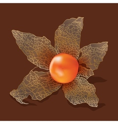 Physalis isolated from the background vector
