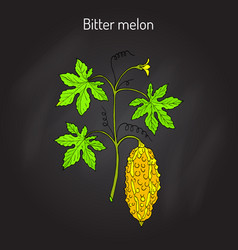 Bitter melon or balsam-pear momordica charantia vector