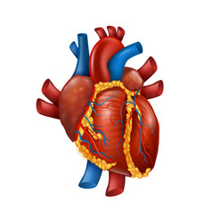 Healthy realistic human heart vector