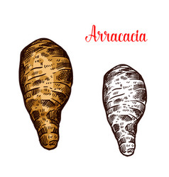Arracacia fresh root vegetable sketch vector