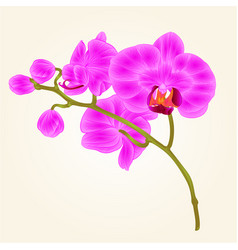 Branches orchid phalaenopsis purple flowers vector