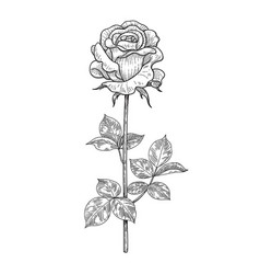 Hand drawn monochrome rose bud with leaves vector