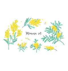Set of beautiful yellow mimosa flowers or vector