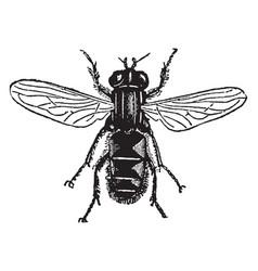 species of helophilus vintage vector image