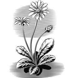 Plant daisies flowered vector