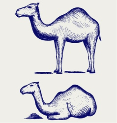 Standing and lying camels vector image