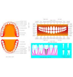 Anatomy of teeth vector