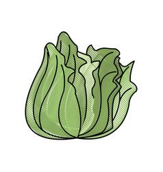 Draw lettuce vegetable nutrition vitamin food vector