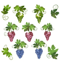 Grapes with green leaves vector