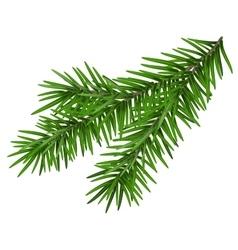 Green lush spruce branch Fir branch vector
