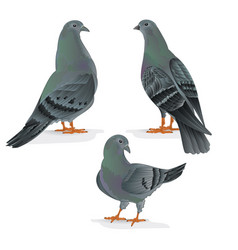 carriers pigeons domestic breeds sports birds vector image