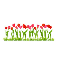tulips flowers isolated vector image