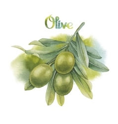 Watercolor green olive branch vector image