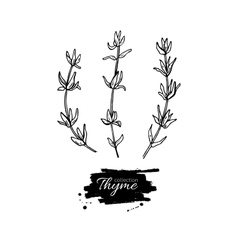 Thyme drawing set Isolated thyme plant and vector image