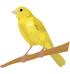 canary bird isolated on white vector image