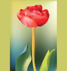 red tulip flower spring season background vector image