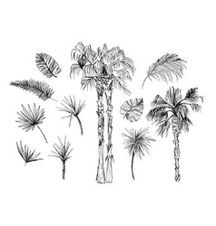 Coconut palms sketch or queen palmae with leaves vector