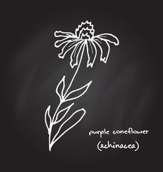 medicinal plant - echinacea purpurea vector image