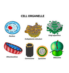 Set cell organelles nucleus golgi apparatus vector