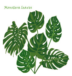 set tropical monstera leaves realistic drawing in vector image
