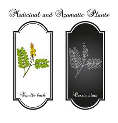 Candle bush cassia or senna alata ornamental vector