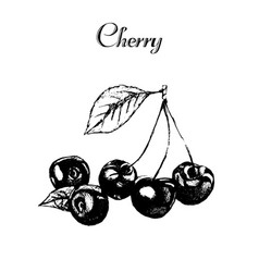 hand drawn vintage isolated cherry vector image