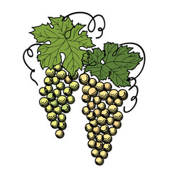 Grape branch engraved berry leaves vineyard vector