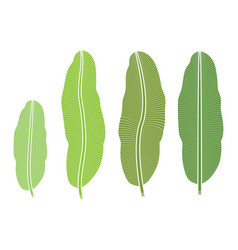 tropical plant banana leaf isolated on white vector image vector image