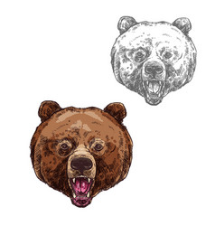 bear isolated sketch with head of wild grizzly vector image