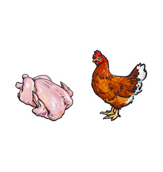 Chicken and cutted hen carcass sketch set vector