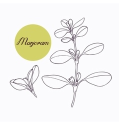 Hand drawn marjoram branch with leves isolated on vector