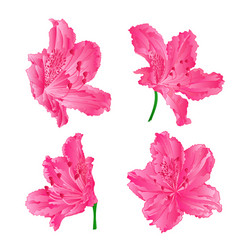 Blossoms pink rhododendrons set three vector
