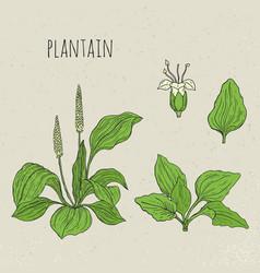 plantain medical botanical isolated vector image