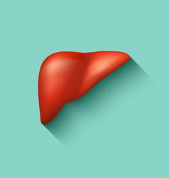 Semi-realistic human liver vector image vector image