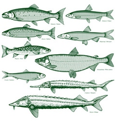 Fish freshwater 2 vector