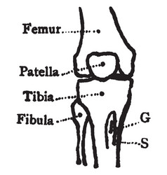 Bones of the knee vintage vector