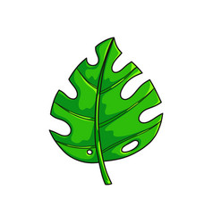 fresh green monstera leaf from tropical collection vector image