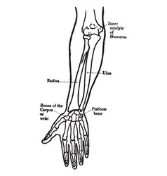 Front view of the bones of the forearm vintage vector