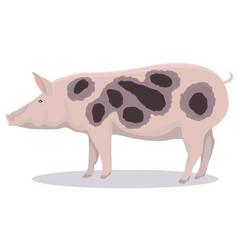 Pietrain pig cartoon vector