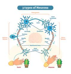 types of neurons - sensory intereuron motor vector image vector image