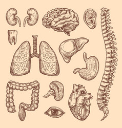 human organs sketch body anatomy icons vector image