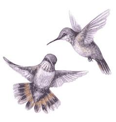 watercolor fluing hummingbirds vector image