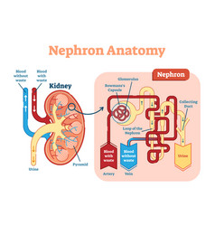 Kidney nephron anatomy diagram scheme vector