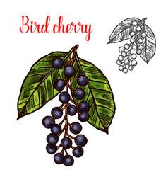 Bird cherry sketch fruit berry icon vector