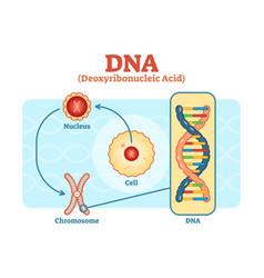 Cell - nucleus - chromosome - dna diagram scheme vector
