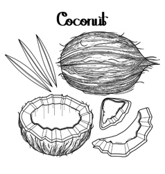 Graphic coconut collection vector