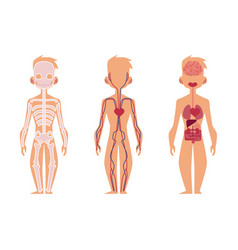 People internal organs anatomy structure vector