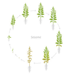 Round crop stages sesame plant new modern and vector