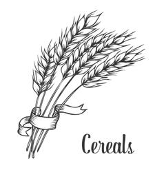 Wheat bread ears cereal crop with ribbon sketch vector image vector image